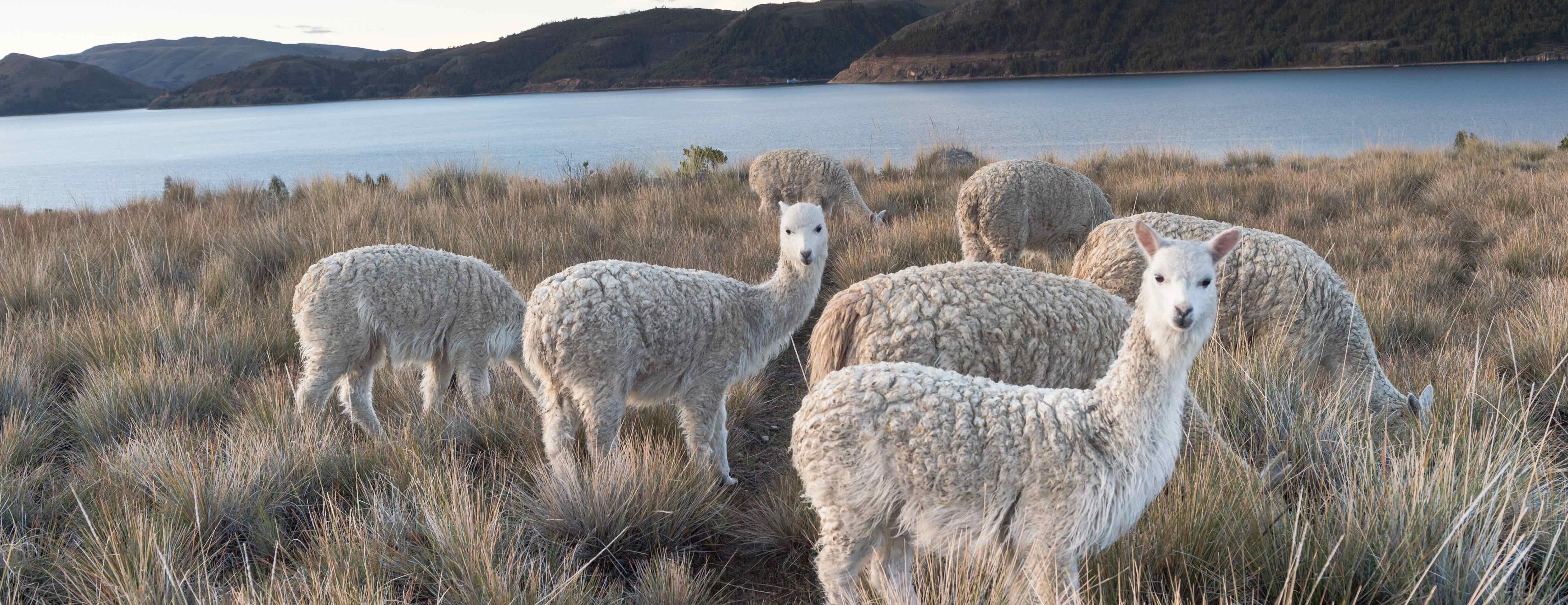 alpacas_our_values_ama